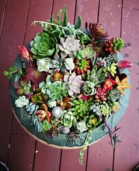 12 or 22 Assorted Succulent Cuttings 10 or 20 Varieties with BONUS $12.99