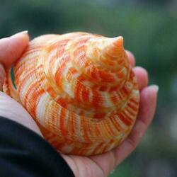 Rare Natural Pearly Screw Conch Shell Coral Sea Collectible a Snail a W5M5 $7.53