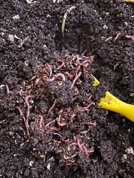 250 Red Wigglers amp; 15 Nightcrawlers amp; Vermicompost Combo Expedited Shipping $39.99
