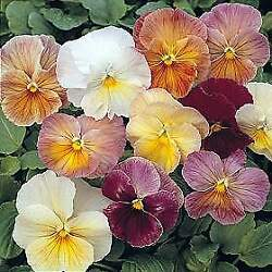 Pansy Imperial Antique Shades 250 Seeds $22.73