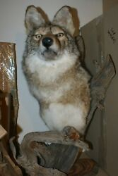 Wolf Head Bust Decoration Man Cave She Shed decor Desk top 2 feet tall hunting