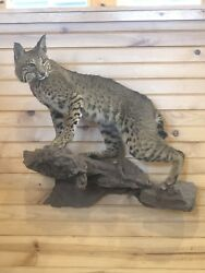 Bobcat Taxidermy Mount Home Office Camp Wall Decor Hunting CabIn Custom Pose NEW