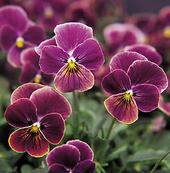 Viola Sorbet XP Antique Shades 250 Seeds $17.41