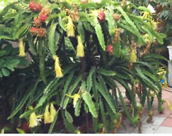 Dragon Fruit Plant Cactus only 15 inches long Cutting $19.99