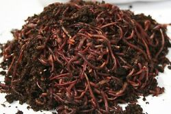 250 Count Red Wiggler Composting Worms $39.99
