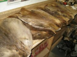 Tanned Beaver Hide Beautiful { Natural } From Canada gt; Yellow Id Tag $39.99