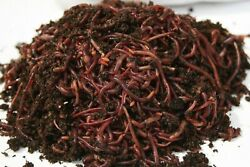 250 500 1000 amp; 2000 Red Composting Worm Mix $79.95
