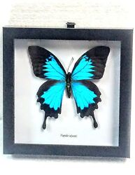 REAL PAPILIO ULYSSES MOUNTAIN BLUE SWALLOWTAIL TAXIDERMY IN BLK SHADOWBOX FRAME $44.99