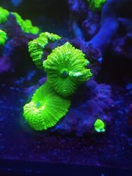 RARE WYSIWYG NEON Green w white Bubbles Bounce Mushroon Live Coral Frag LPS $199.99