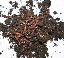 50 Red Wiggler Eisenia fetida  With Directions. Alaska Grown Ice Worms $25.00