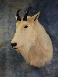 Awesome Rocky Mount Goat MountHornsSheepSkullTaxidermy Home Cabin Decor