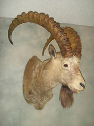 Mid-Asian Ibex Goat Mount Taxidermy Home Cabin Decor