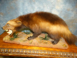Awesome Wolverine MountCoyoteFoxTaxidermyHome Cabin Decor