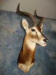 Beautiful African White Eared Kob Mount Taxidermy Home Cabin Decor