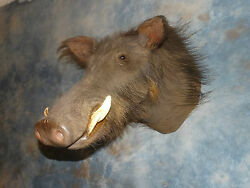 Rare! African Giant Forest Hog Taxidermy Home Cabin Decor