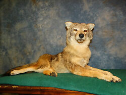 New Cool Relaxed Laying Coyote Taxidermy Mount Home Cabin Decor