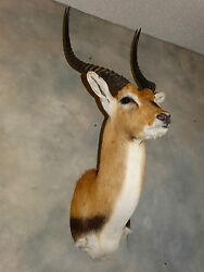 Beautiful African Kafue Flats Lechwe Mount Taxidermy Home Cabin Decor