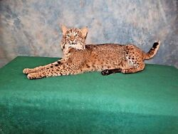 Brand new Quality Bobcat Taxidermy Mount Home Hunting Cabin Decor