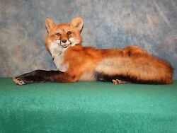 Beautiful Northern Red Fox Taxidermy Mount Home Hunting Cabin Decor