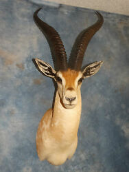 # 4 SCI Record Book African Grant's Gazelle Mount Taxidermy Home Cabin Decor