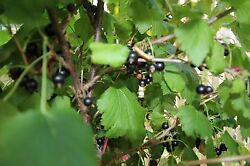 Black currant 1 rooted plant 18 25 inches tall $19.00