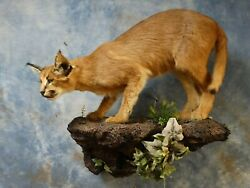 Awesome African Caracal Cat MountCivetServalTaxidermy Home Cabin Decor