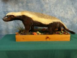 Beautiful Rare African Honey Badger Taxidermy Mount Home Cabin Decor