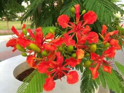 FLAMBOYAN !!!  LIVE RED ROYAL POINCIANA TREE 7 TO 10 INCHES TALL