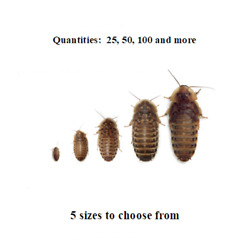 Dubia Roaches Small Medium Large XL Live Feeders Ships Same Day Free $23.00