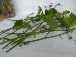 10 Yellow Passion Fruit Vine Cuttings Passiflora Edible Exotic Ships Free 3 Day $14.99