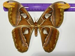 Attacus atlas Large Thai Females Lot of 10 A1 specimens $120.00