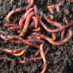 30 Red Wiggler Composting Worms $15.00