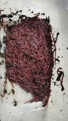 500 Count about Half a pound Red Wiggler Composting Worms Eisenia fetida $42.99