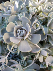 Rare Chinese Dunce Cap Succulent 1 unrooted Rosette Cutting Orostachys iwarenge $8.99