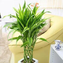 20pcs 100% Genuine Rare Lucky Bamboo seeds Anti Radiation Absorb dust tree seed $7.75