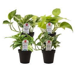4-Pack of Exotic Angel Pothos Live Indoor Houseplant growing -3.8