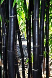 50 Timor Black Bamboo Seeds Privacy Seed Garden Clumping Exotic Shade Screen 765 $3.79