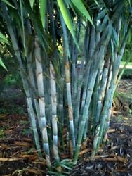 50 Rare Blue Bamboo Seeds Privacy Plant Garden Clumping Exotic Shade Screen 383 $3.79