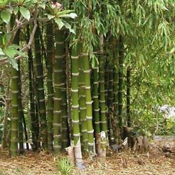 50 Giant Thorny Bamboo Seeds Privacy Climbing Garden Shade Seed 559 US SELLER $3.79