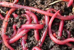 24 Big Red Wiggler Trout Worms 24 Live Earthworm Fish Bait amp; Reptile Food Diet $6.71