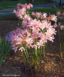 Naked Lady  Surprise Lily5 Perennial Bulbsfree shipping $16.75