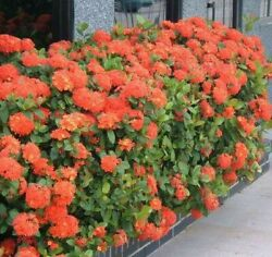 IXORA MAUI RED LIVE PLANT 3 TO 5 INCHES TALL $3.99