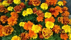 French Marigold Sparky Mix Beautiful Colors Garden Pest Deterrent FREE SHIP $1.79
