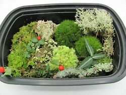 Live Assortment Lot of Moss Lichen and Woodland Plants Fairy Gardens Terrarium $19.99