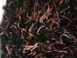 5 lb mx compost pet food worms European n. crawler Red wigglers $95.00