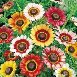 PAINTED DAISY 3quot; Flowers Heirloom Tri Color Mix Perennial Non GMO 100 Seeds $2.99