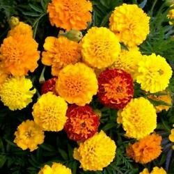 PETITE MIX French Marigold Seeds Double Dwarf 6quot; Heirloom Non GMO 100 Seeds $2.99