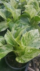 Marble Queen Pothos 4 Leaves in 4quot; Pots Easy Tropical Indoors Outdoors plants $3.99