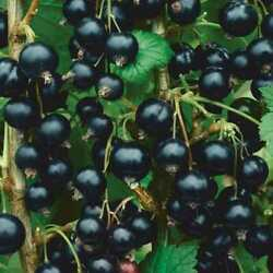 1 Consort black Currant live rooted starter plant edible Shrub. Zones 4 8. $15.99