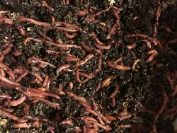 2 lb Mx compost worms European n. crawler Red wigglers mix $38.00